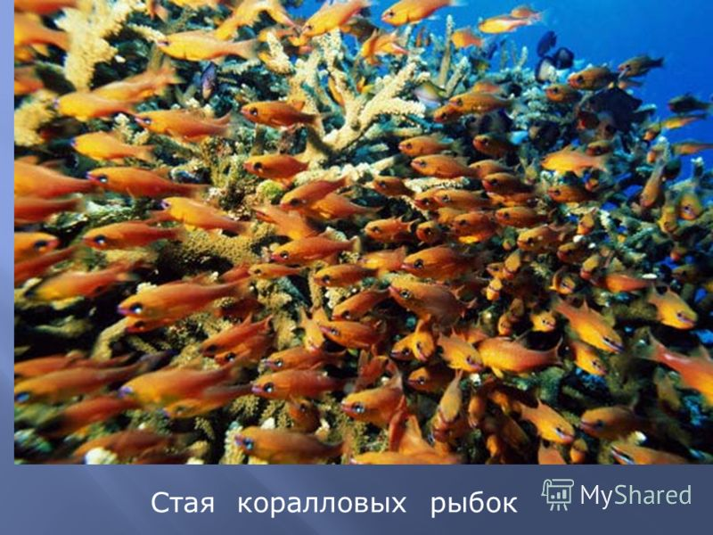Стая коралловых рыбок