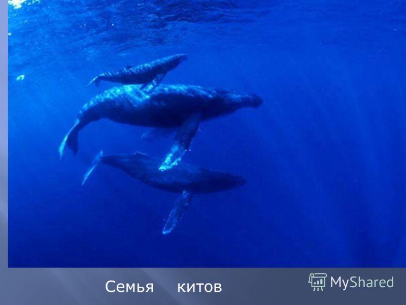 Семья китов