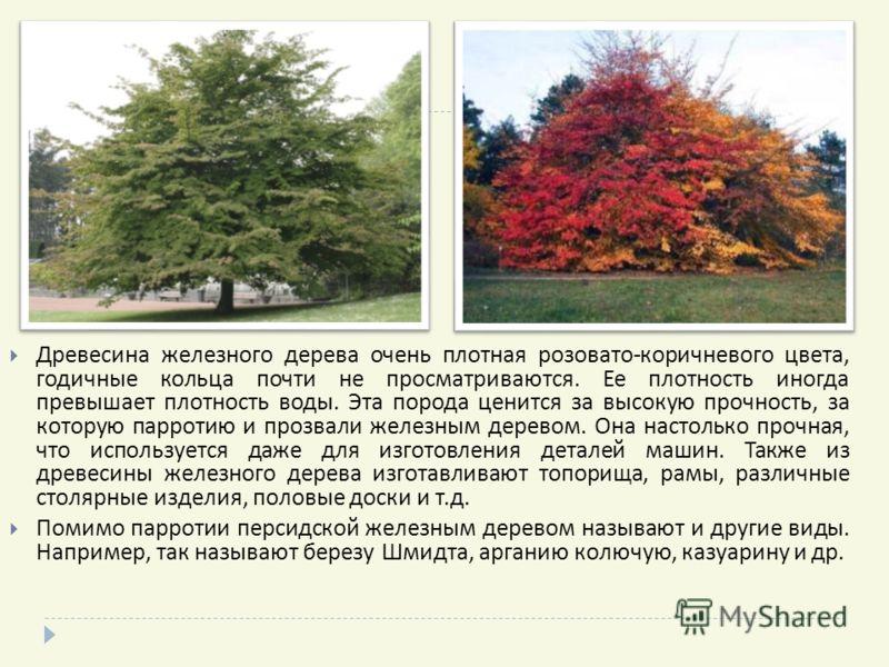 Древесина железного дерева очень плотная розовато - коричневого цвета, годичные кольца почти не просматриваются. Ее плотность иногда превышает плотность воды. Эта порода ценится за высокую прочность, за которую парротию и прозвали железным деревом. О