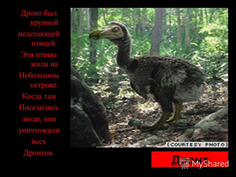 Дронт был крупной нелетающей птицей. Эти птицы жили на Небольшом острове. Когда там Поселились люди, они уничтожили всех Дронтов.