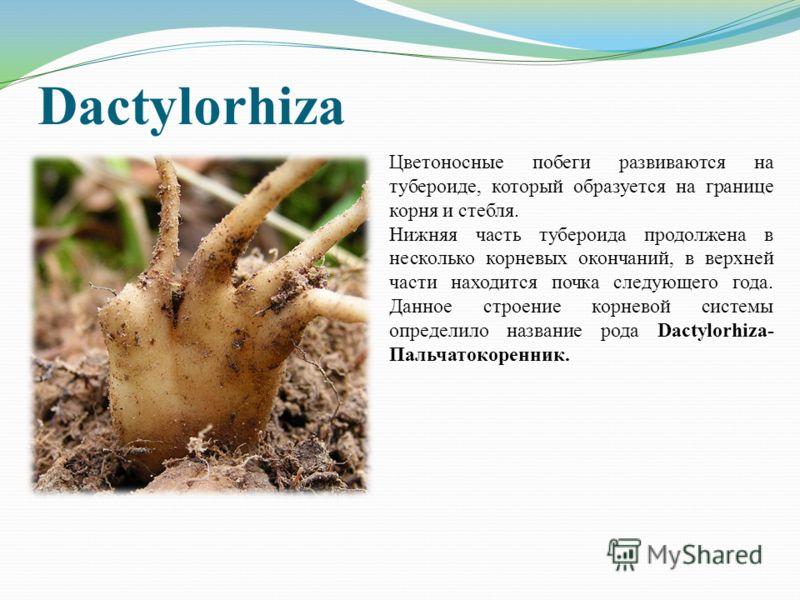 Dactylorhiza Цветоносные побеги развиваются на тубероиде, который образуется на границе корня и стебля. Нижняя часть тубероида продолжена в несколько корневых окончаний, в верхней части находится почка следующего года. Данное строение корневой систем