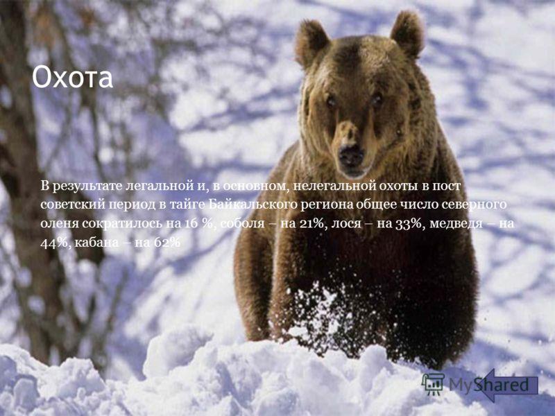 Охота В результате легальной и, в основном, нелегальной охоты в пост советский период в тайге Байкальского региона общее число северного оленя сократилось на 16 %, соболя – на 21%, лося – на 33%, медведя – на 44%, кабана – на 62%