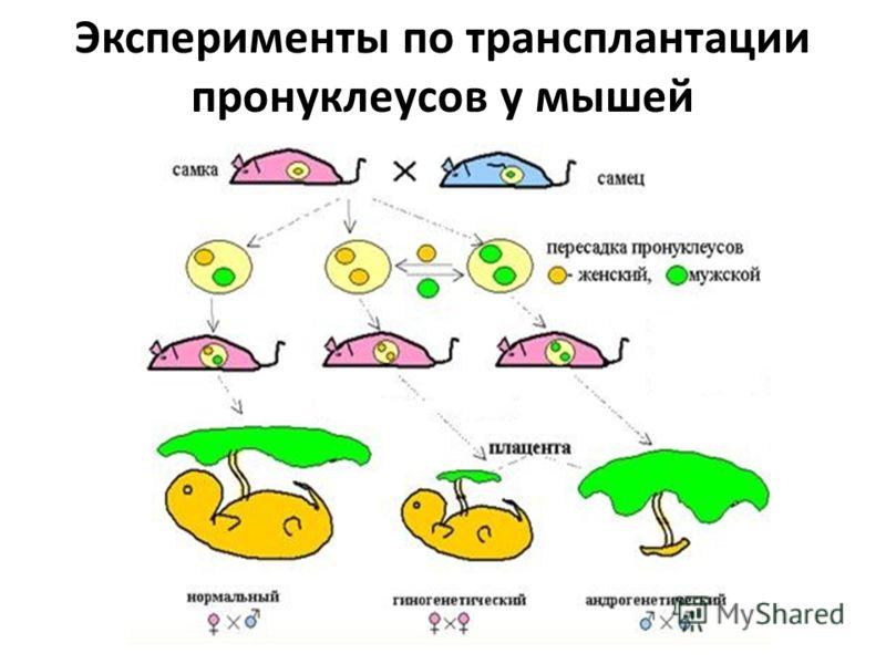 Эксперименты по трансплантации пронуклеусов у мышей