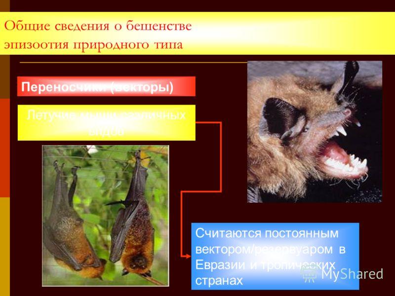 Общие сведения о бешенстве эпизоотия природного типа Летучие мыши различных видов Переносчики (векторы) Считаются постоянным вектором/резервуаром в Евразии и тропических странах
