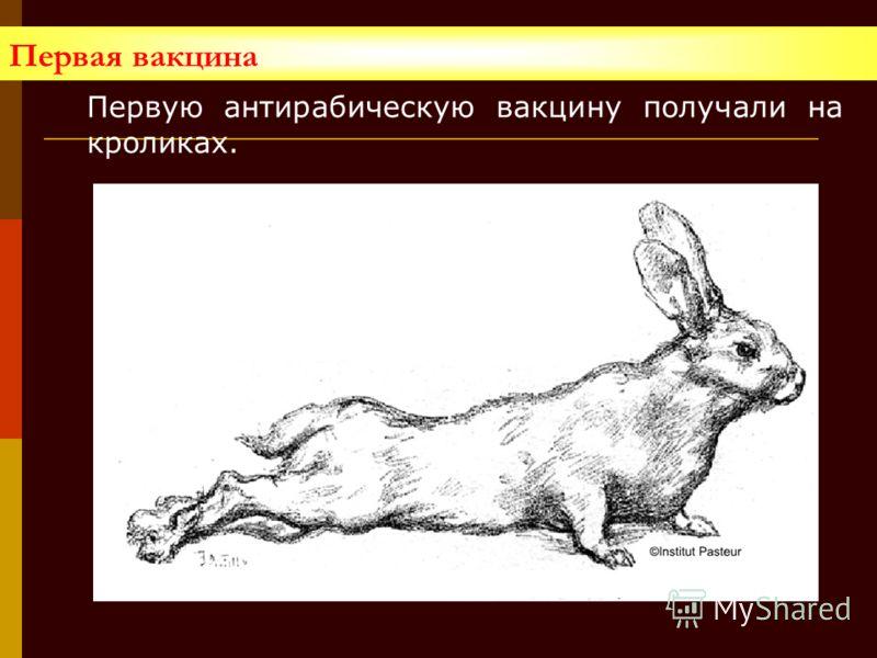 Первая вакцина Первую антирабическую вакцину получали на кроликах.