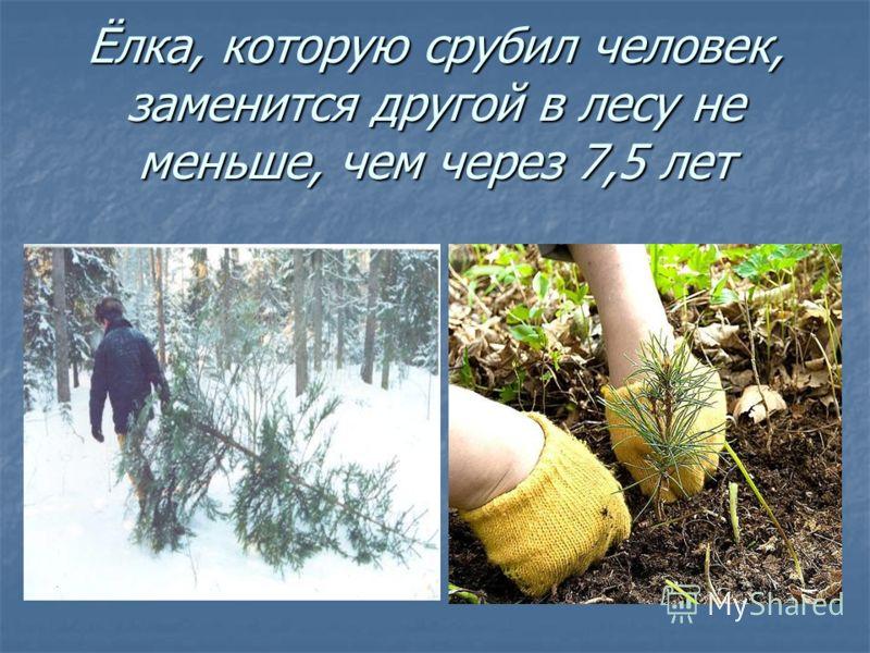 Ёлка, которую срубил человек, заменится другой в лесу не меньше, чем через 7,5 лет