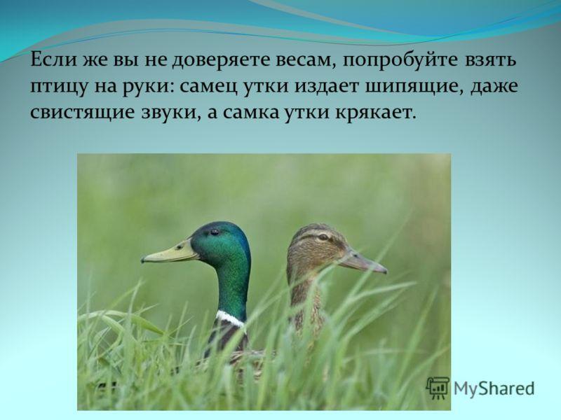 Если же вы не доверяете весам, попробуйте взять птицу на руки: самец утки издает шипящие, даже свистящие звуки, а самка утки крякает.
