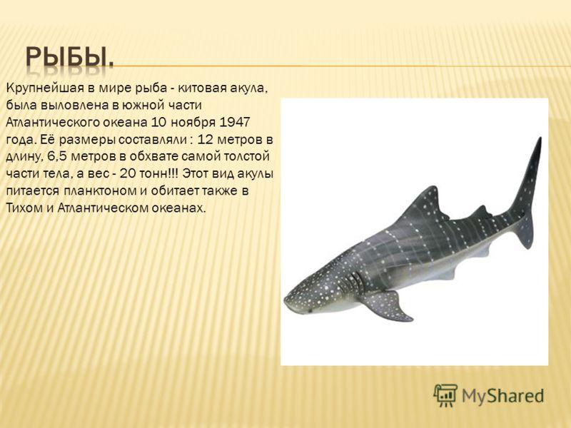 Крупнейшая в мире рыба - китовая акула, была выловлена в южной части Атлантического океана 10 ноября 1947 года. Её размеры составляли : 12 метров в длину, 6,5 метров в обхвате самой толстой части тела, а вес - 20 тонн!!! Этот вид акулы питается планк