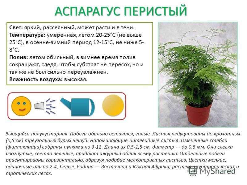 АСПАРАГУС ПЕРИСТЫЙ Вьющийся полукустарник. Побеги обильно ветвятся, голые. Листья редуцированы до крохотных (0,5 см) треугольных бурых чешуй. Напоминающие нитевидные листья измененные стебли (филлокладии) собраны пучками по 3-12. Длина их 0,5-1,5 см,