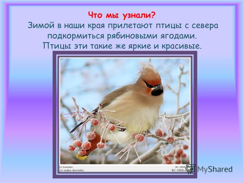 Что мы узнали? Зимой в наши края прилетают птицы с севера подкормиться рябиновыми ягодами. Птицы эти такие же яркие и красивые.