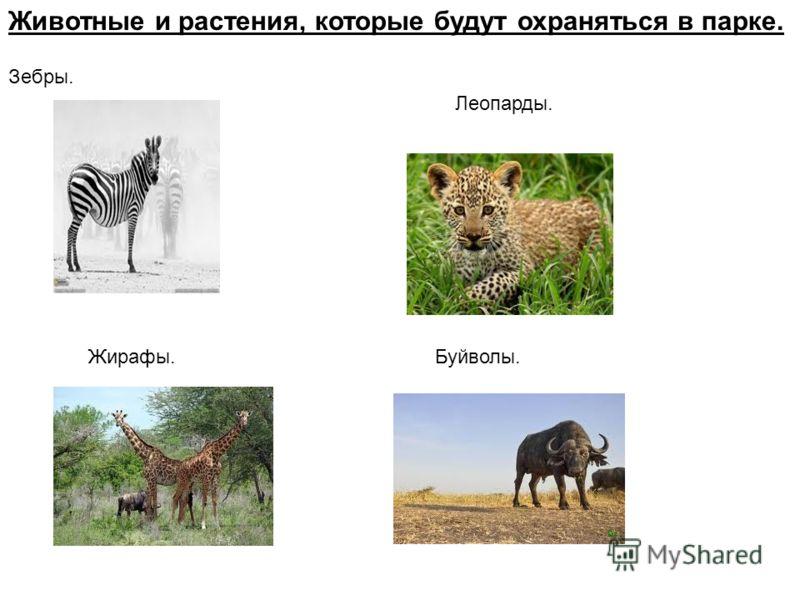 Животные и растения, которые будут охраняться в парке. Зебры. Леопарды. Жирафы.Буйволы.