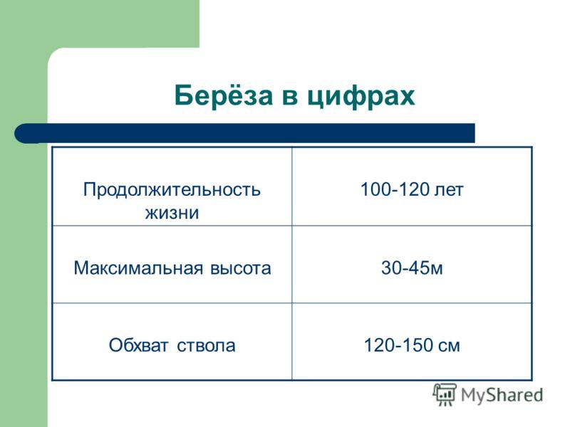 Берёза в цифрах Продолжительность жизни 100-120 лет Максимальная высота30-45м Обхват ствола120-150 см