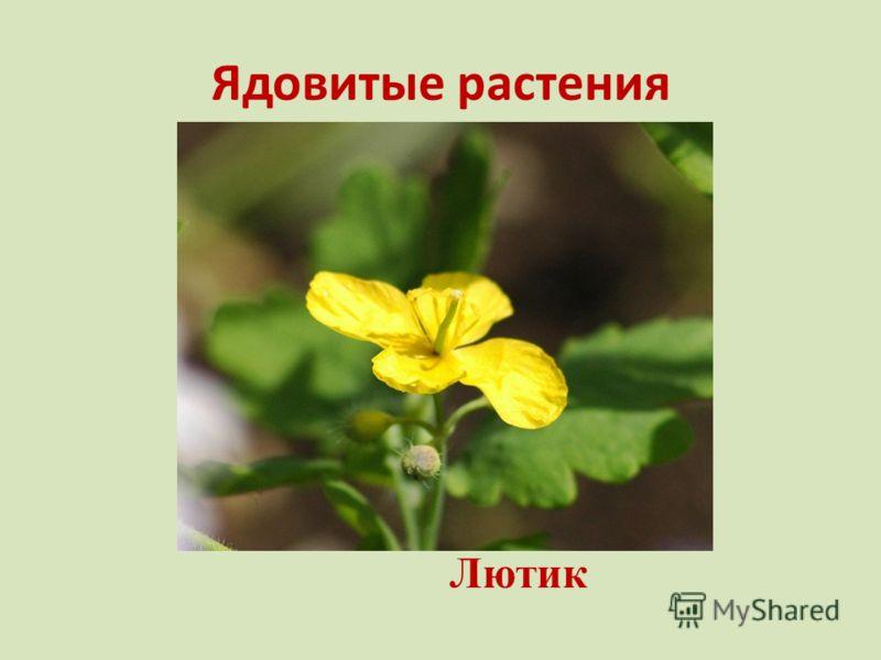 Ядовитые растения Лютик