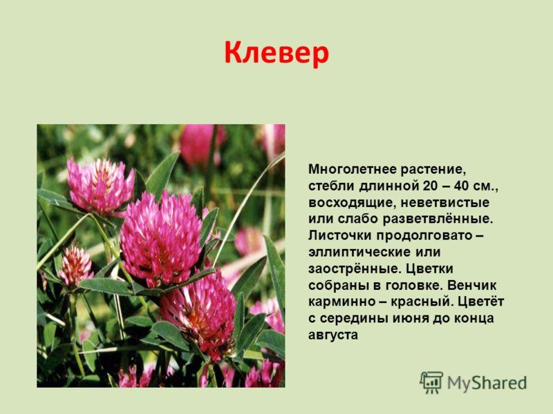 Клевер Многолетнее растение, стебли длинной 20 – 40 см., восходящие, неветвистые или слабо разветвлённые. Листочки продолговато – эллиптические или заострённые. Цветки собраны в головке. Венчик карминно – красный. Цветёт с середины июня до конца авгу