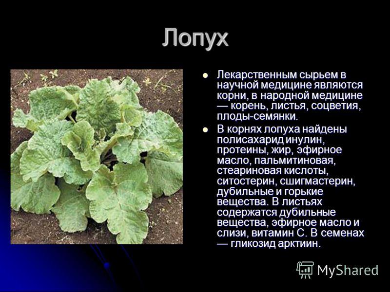 Лопух Лекарственным сырьем в научной медицине являются корни, в народной медицине корень, листья, соцветия, плоды-семянки. Лекарственным сырьем в научной медицине являются корни, в народной медицине корень, листья, соцветия, плоды-семянки. В корнях л