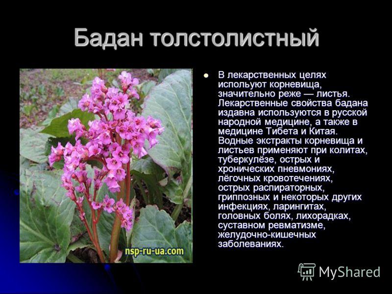 Бадан толстолистный В лекарственных целях испольуют корневища, значительно реже листья. Лекарственные свойства бадана издавна используются в русской народной медицине, а также в медицине Тибета и Китая. Водные экстракты корневища и листьев применяют