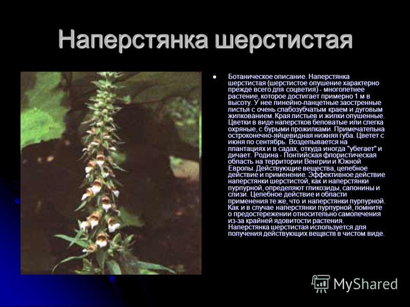 Наперстянка шерстистая Ботаническое описание. Наперстянка шерстистая (шерстистое опушение характерно прежде всего для соцветия) - многолетнее растение, которое достигает примерно 1 м в высоту. У нее линейно-ланцетные заостренные листья с очень слабоз