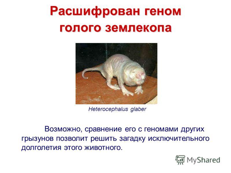 Расшифрован геном голого землекопа Heterocephalus glaber Возможно, сравнение его с геномами других грызунов позволит решить загадку исключительного долголетия этого животного.