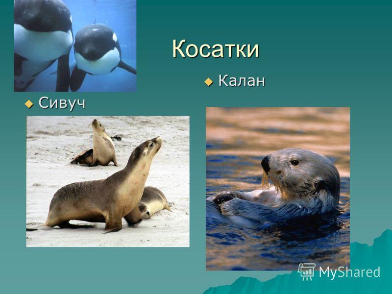 Косатки Сивуч Сивуч Калан Калан