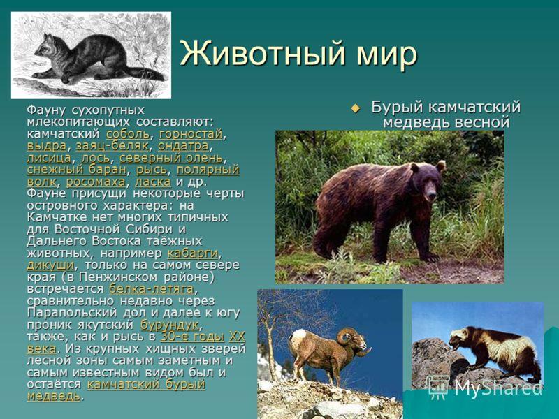 Животный мир Животный мир Фауну сухопутных млекопитающих составляют: камчатский соболь, горностай, выдра, заяц-беляк, ондатра, лисица, лось, северный олень, снежный баран, рысь, полярный волк, росомаха, ласка и др. Фауне присущи некоторые черты остро