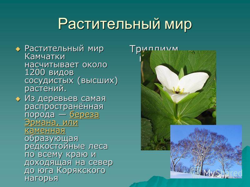 Растительный мир Растительный мир Камчатки насчитывает около 1200 видов сосудистых (высших) растений. Растительный мир Камчатки насчитывает около 1200 видов сосудистых (высших) растений. Из деревьев самая распространённая порода береза Эрмана, или ка