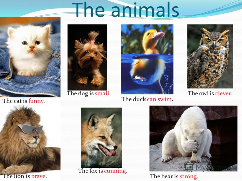 The animals The cat is funny. The dog is small. The duck can swim. The owl is clever. The lion is brave. The fox is cunning. The bear is strong.