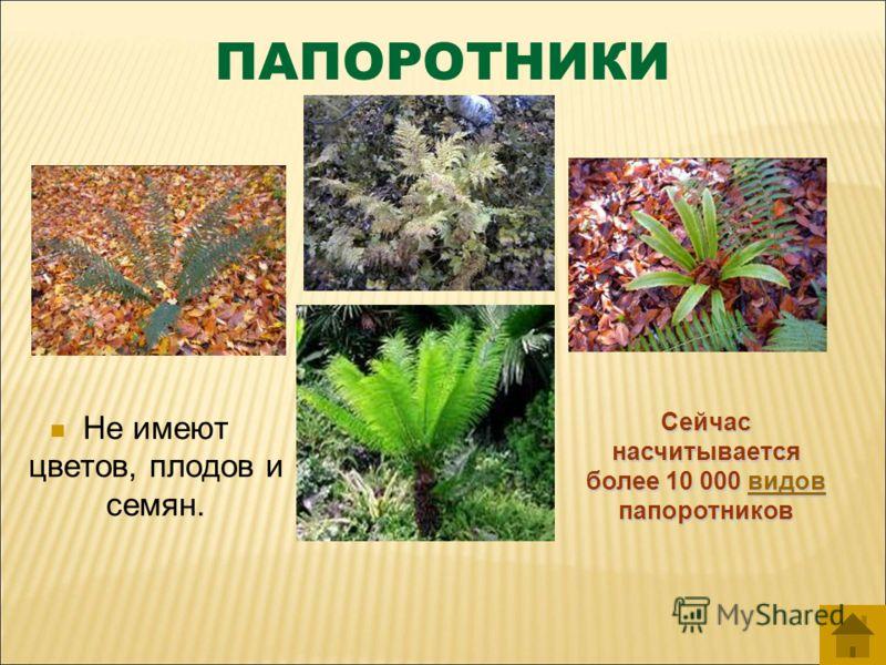 ПАПОРОТНИКИ Не имеют цветов, плодов и семян. Сейчас насчитывается более 10 000 в в в в в ииии дддд оооо ввввпапоротников