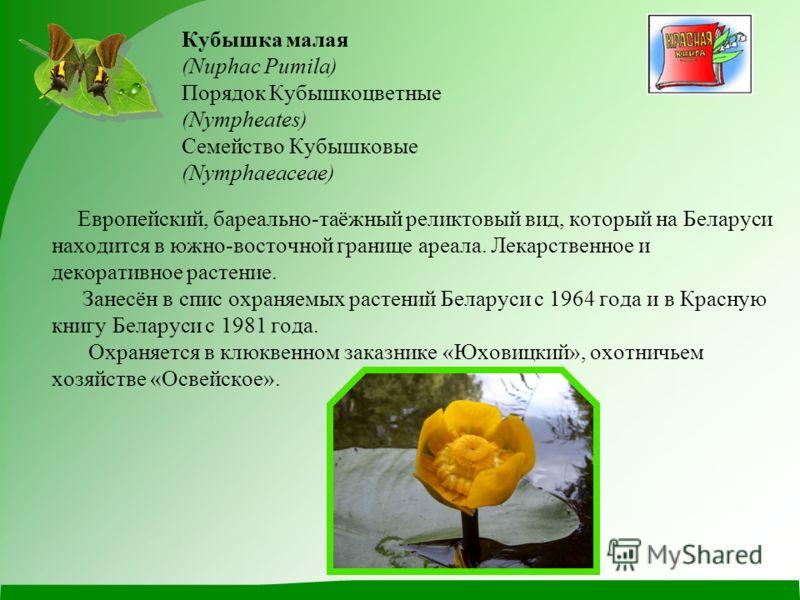 Кубышка малая (Nuphac Pumila) Порядок Кубышкоцветные (Nympheates) Семейство Кубышковые (Nymphaeaceae) Европейский, бареально-таёжный реликтовый вид, который на Беларуси находится в южно-восточной границе ареала. Лекарственное и декоративное растение.