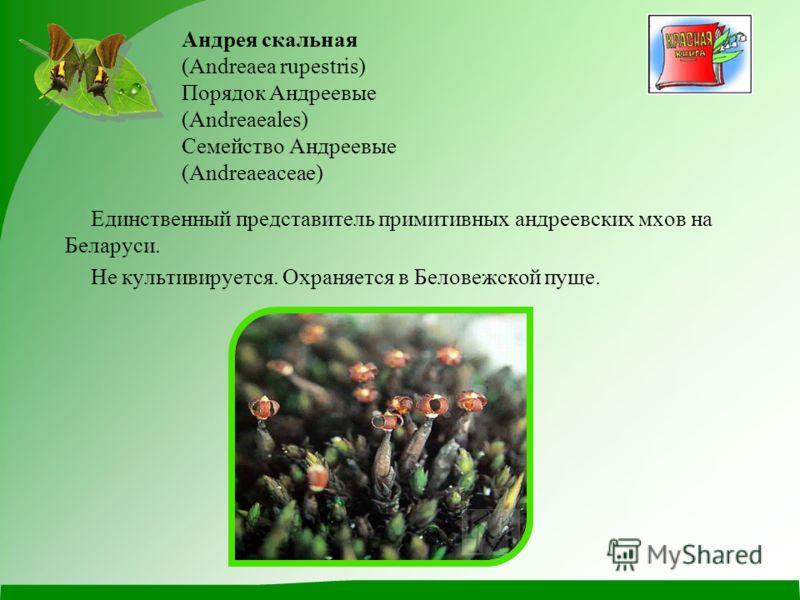 Андрея скальная (Andreaea rupestris) Порядок Андреевые (Andreaeales) Семейство Андреевые (Andreaeaceae) Единственный представитель примитивных андреевских мхов на Беларуси. Не культивируется. Охраняется в Беловежской пуще.