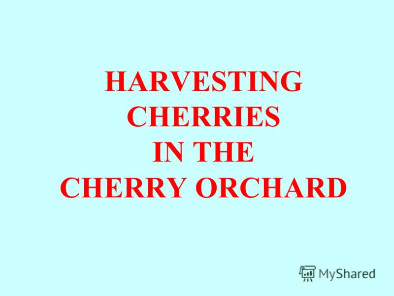 HARVESTING CHERRIES IN THE CHERRY ORCHARD