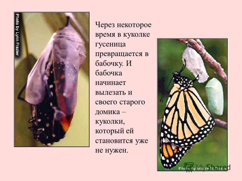 Через некоторое время в куколке гусеница превращается в бабочку. И бабочка начинает вылезать и своего старого домика – куколки, который ей становится уже не нужен.