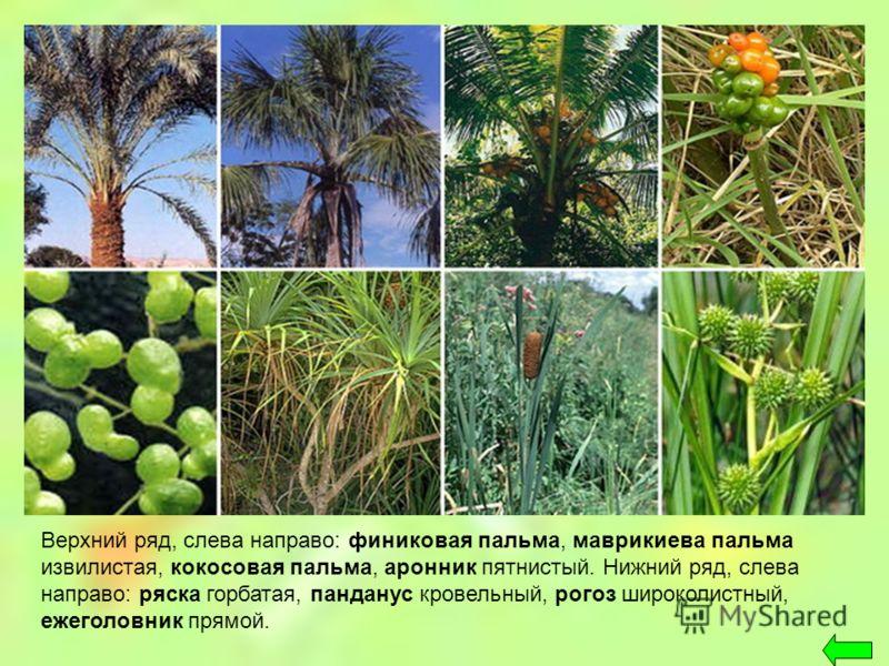 Верхний ряд, слева направо: финиковая пальма, маврикиева пальма извилистая, кокосовая пальма, аронник пятнистый. Нижний ряд, слева направо: ряска горбатая, панданус кровельный, рогоз широколистный, ежеголовник прямой.