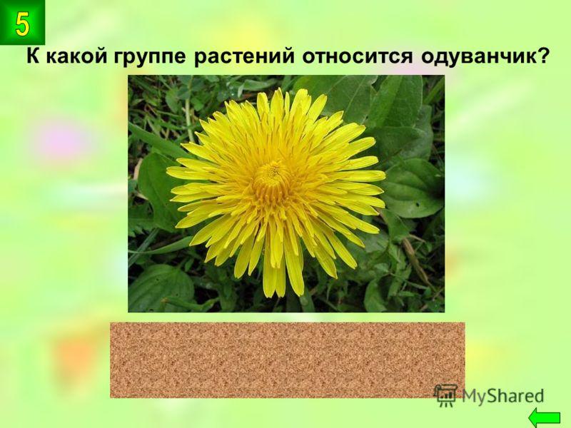 К какой группе растений относится одуванчик? цветковые