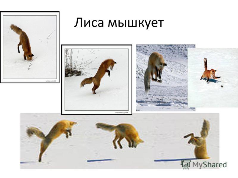 Лиса мышкует