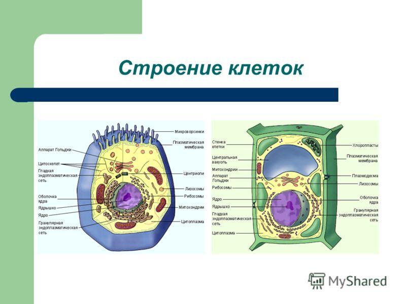 Ответы на задания 2 этапа урока составить пары «органоид – функция» Лизосома – расщепление веществ Хлоропласты – фотосинтез Рибосомы – синтез белка Клеточный центр – создание веретена деления Вакуоль – накопление продуктов обмена Жгутики – движение М