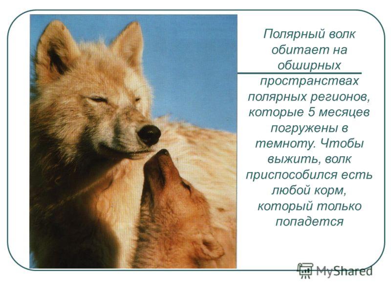 Полярный волк обитает на обширных пространствах полярных регионов, которые 5 месяцев погружены в темноту. Чтобы выжить, волк приспособился есть любой корм, который только попадется