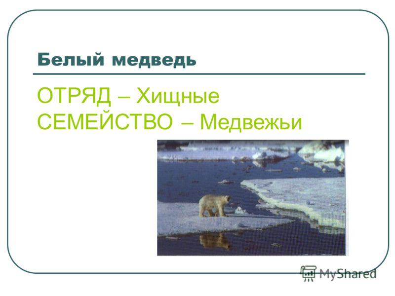 Белый медведь ОТРЯД – Хищные СЕМЕЙСТВО – Медвежьи