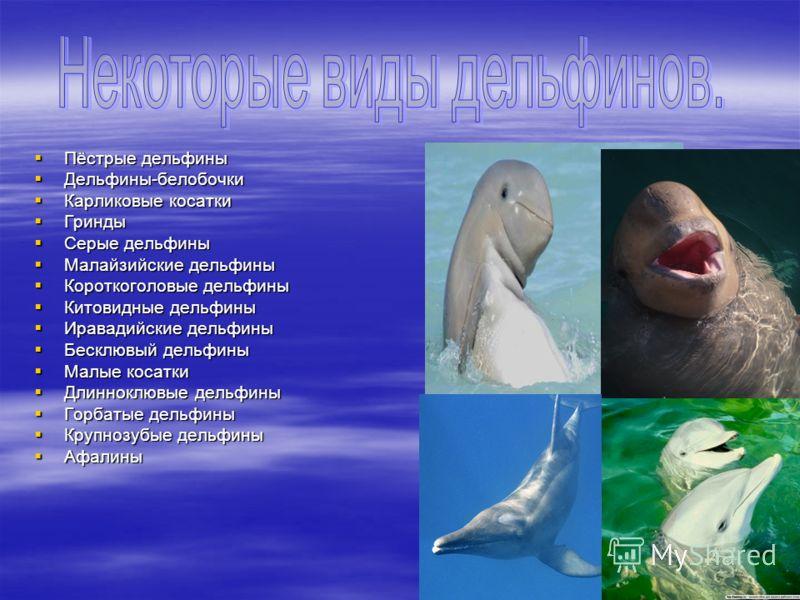 Пёстрые дельфины Пёстрые дельфины Дельфины-белобочки Дельфины-белобочки Карликовые косатки Карликовые косатки Гринды Гринды Серые дельфины Серые дельфины Малайзийские дельфины Малайзийские дельфины Короткоголовые дельфины Короткоголовые дельфины Кито