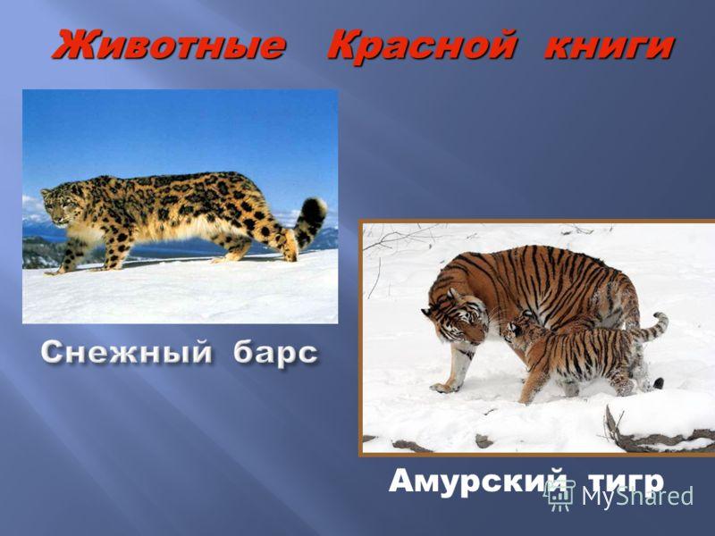 Амурский тигр Животные Красной книги