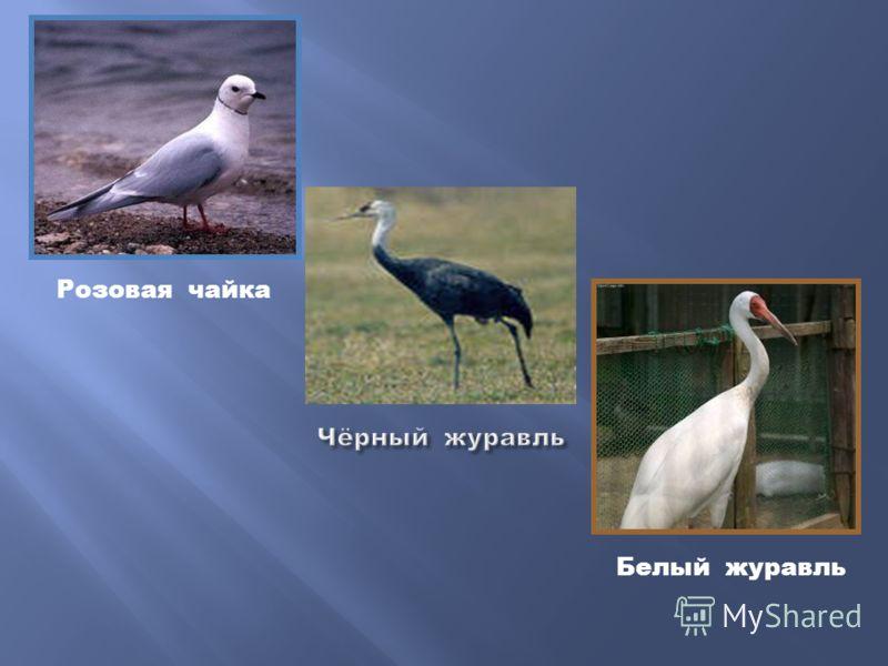 Розовая чайка Белый журавль