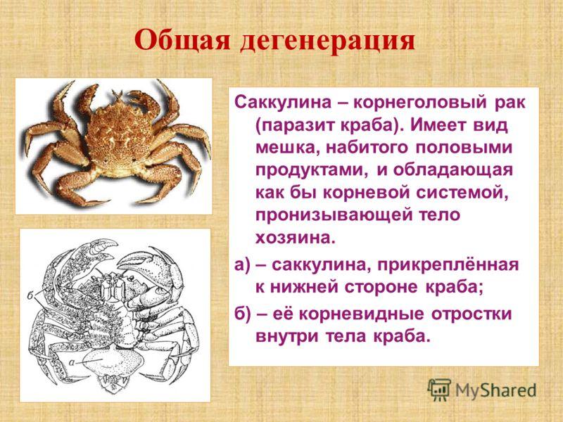 Саккулина – корнеголовый рак (паразит краба). Имеет вид мешка, набитого половыми продуктами, и обладающая как бы корневой системой, пронизывающей тело хозяина. а) – саккулина, прикреплённая к нижней стороне краба; б) – её корневидные отростки внутри
