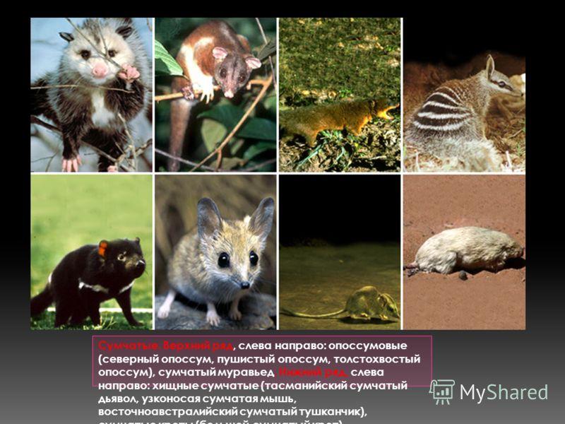 Сумчатые. Верхний ряд, слева направо: опоссумовые (северный опоссум, пушистый опоссум, толстохвостый опоссум), сумчатый муравьед. Нижний ряд, слева направо: хищные сумчатые (тасманийский сумчатый дьявол, узконосая сумчатая мышь, восточноавстралийский