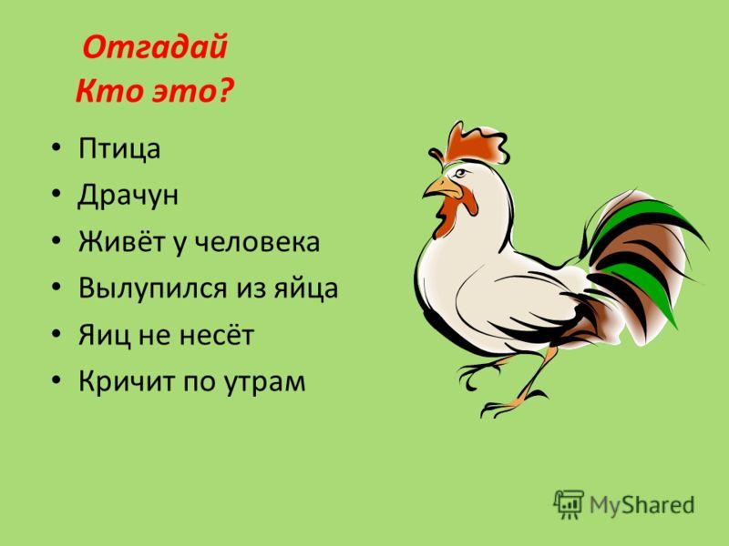 Птица Драчун Живёт у человека Вылупился из яйца Яиц не несёт Кричит по утрам Отгадай Кто это?