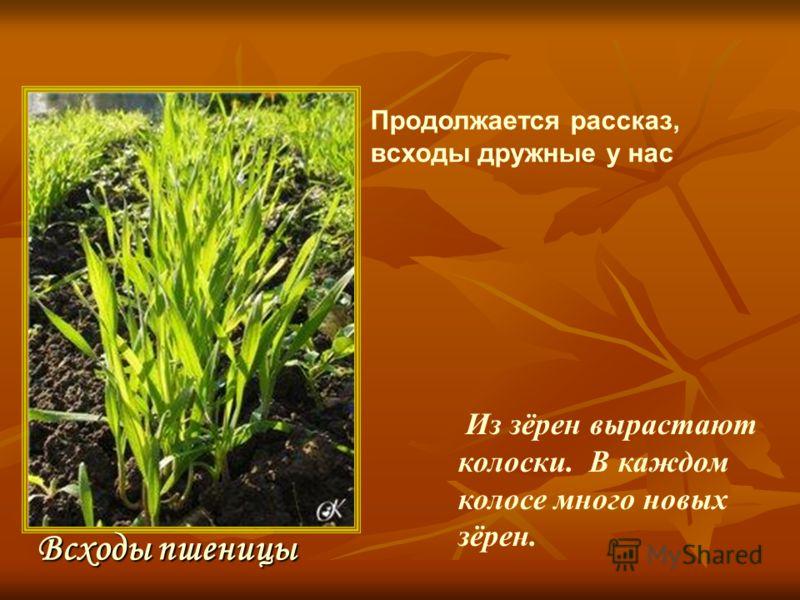 Из зёрен вырастают колоски. В каждом колосе много новых зёрен. Всходы пшеницы Продолжается рассказ, всходы дружные у нас