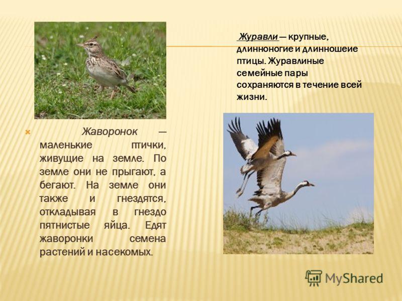 Жаворонок маленькие птички, живущие на земле. По земле они не прыгают, а бегают. На земле они также и гнездятся, откладывая в гнездо пятнистые яйца. Едят жаворонки семена растений и насекомых. Журавли крупные, длинноногие и длинношеие птицы. Журавлин