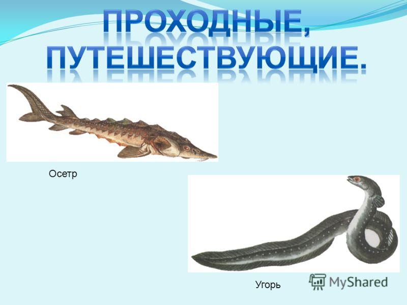 Осетр Угорь