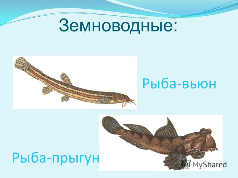 Земноводные: Рыба-прыгун Рыба-вьюн