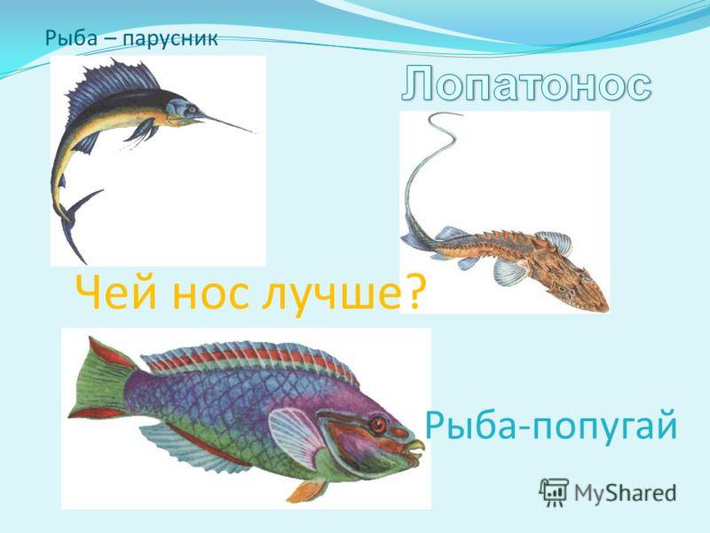 Рыба – парусник Рыба-попугай Чей нос лучше?