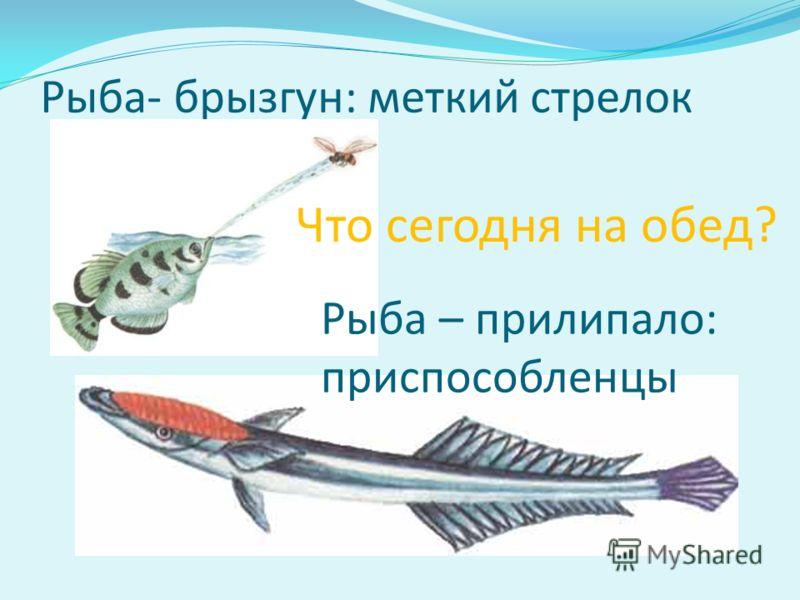 Рыба- брызгун: меткий стрелок Что сегодня на обед? Рыба – прилипало: приспособленцы