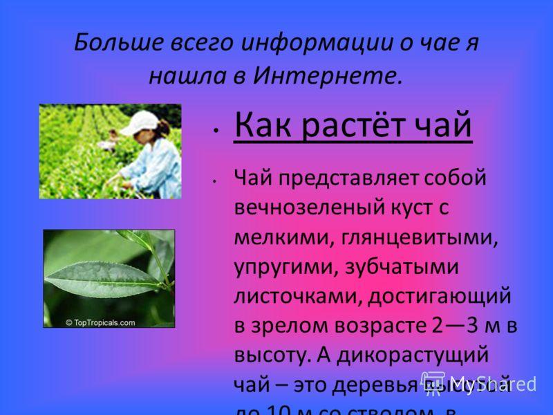 Больше всего информации о чае я нашла в Интернете. Как растёт чай Чай представляет собой вечнозеленый куст с мелкими, глянцевитыми, упругими, зубчатыми листочками, достигающий в зрелом возрасте 23 м в высоту. А дикорастущий чай – это деревья высотой